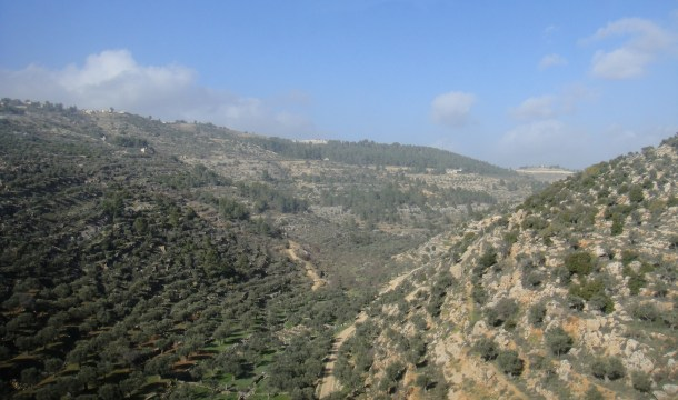 olive groves palestine
