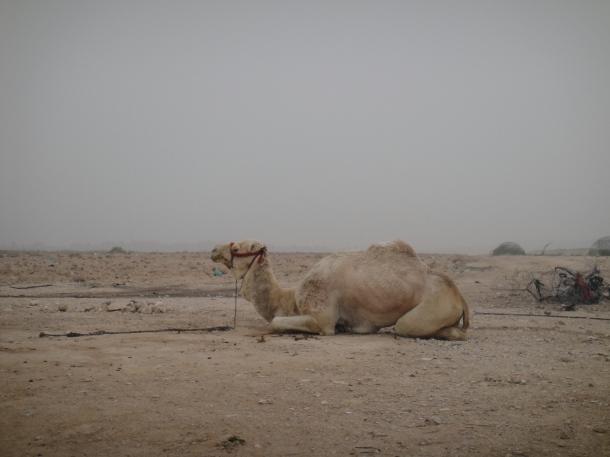 palestine camel