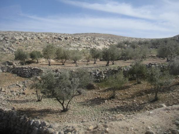 palestine olive groves