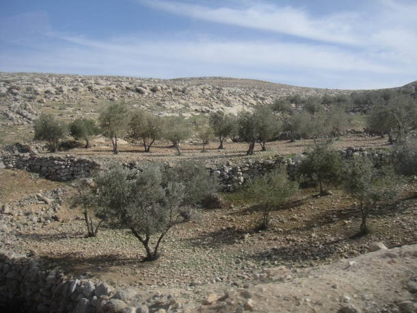 palestine olive groves
