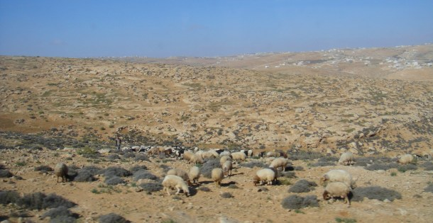sheep palestine shepherd