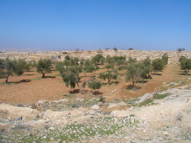 west bank olive orchard susiya