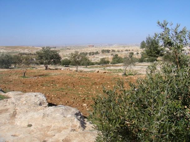 susiya-olive-orchard
