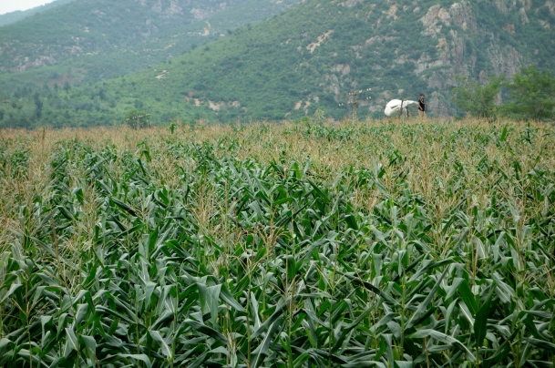cornfield-north-korea