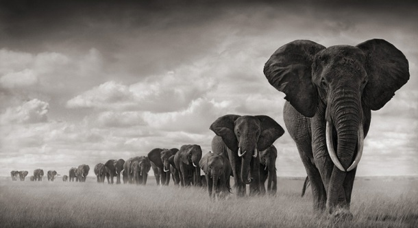 Nick-Brandt-elephants