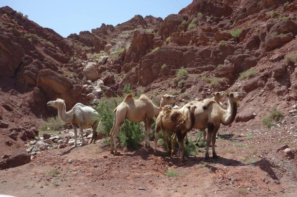bactrian-camels-xinjiang