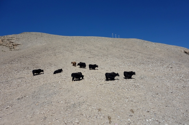 Karakoram-Highway-yaks