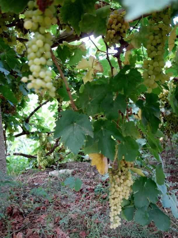 grape-field-xinjiang