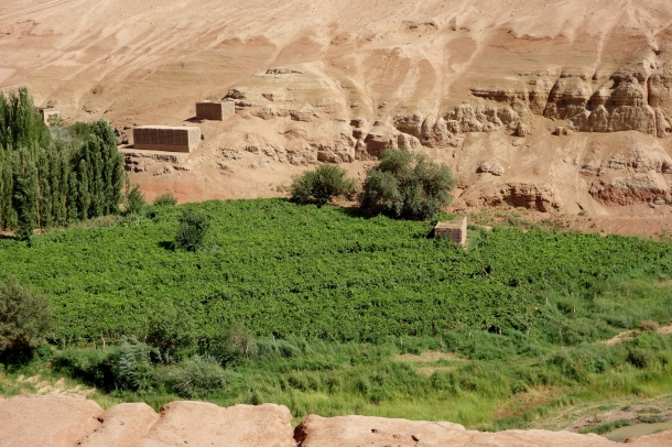 grape-growing-turpan