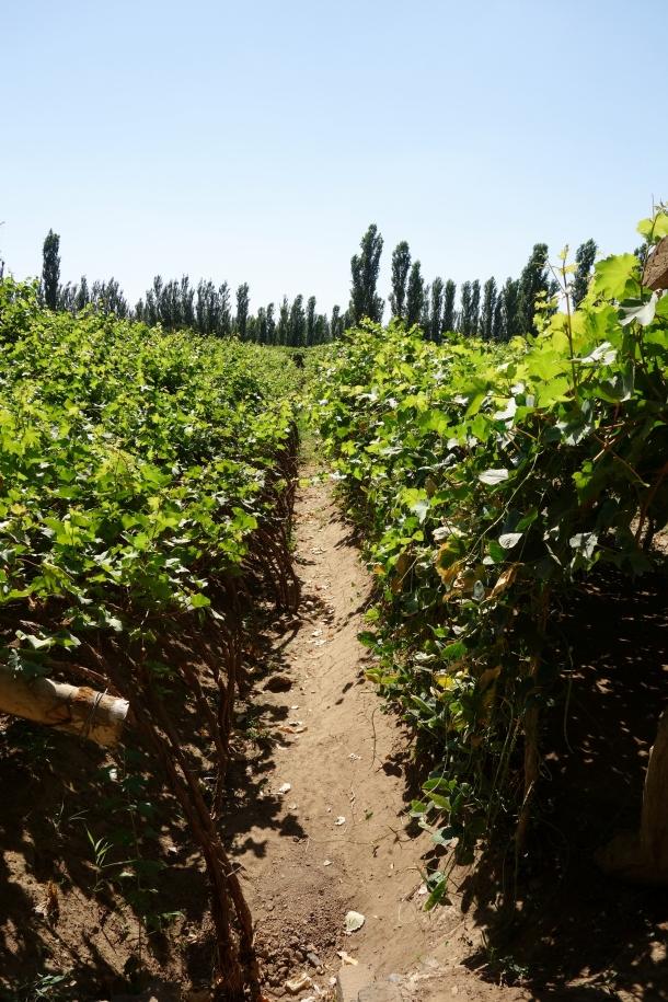 grape-rows-turpan