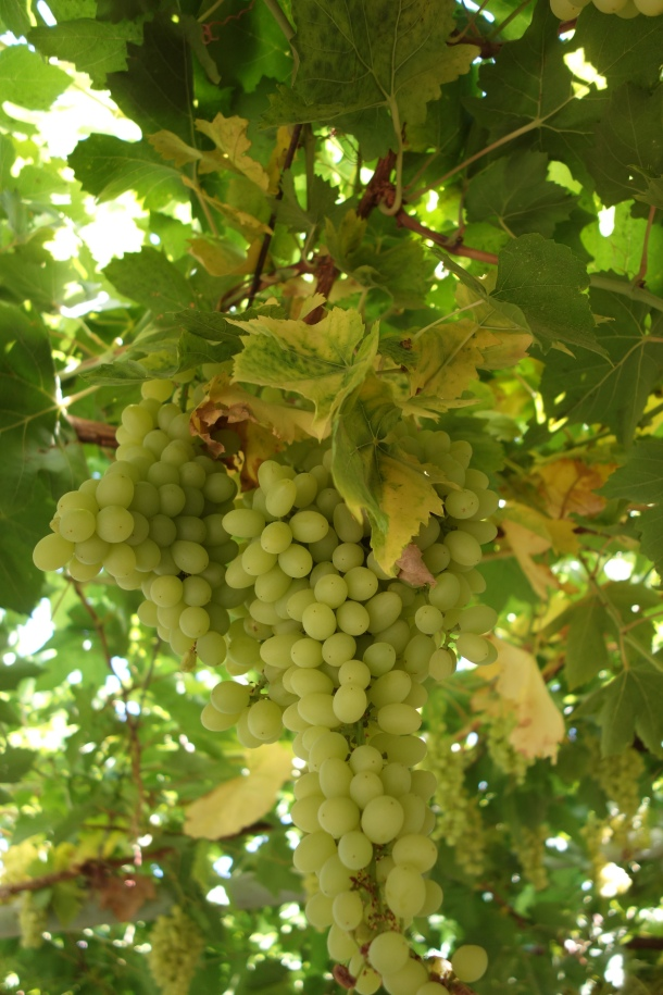 grapes-turpan