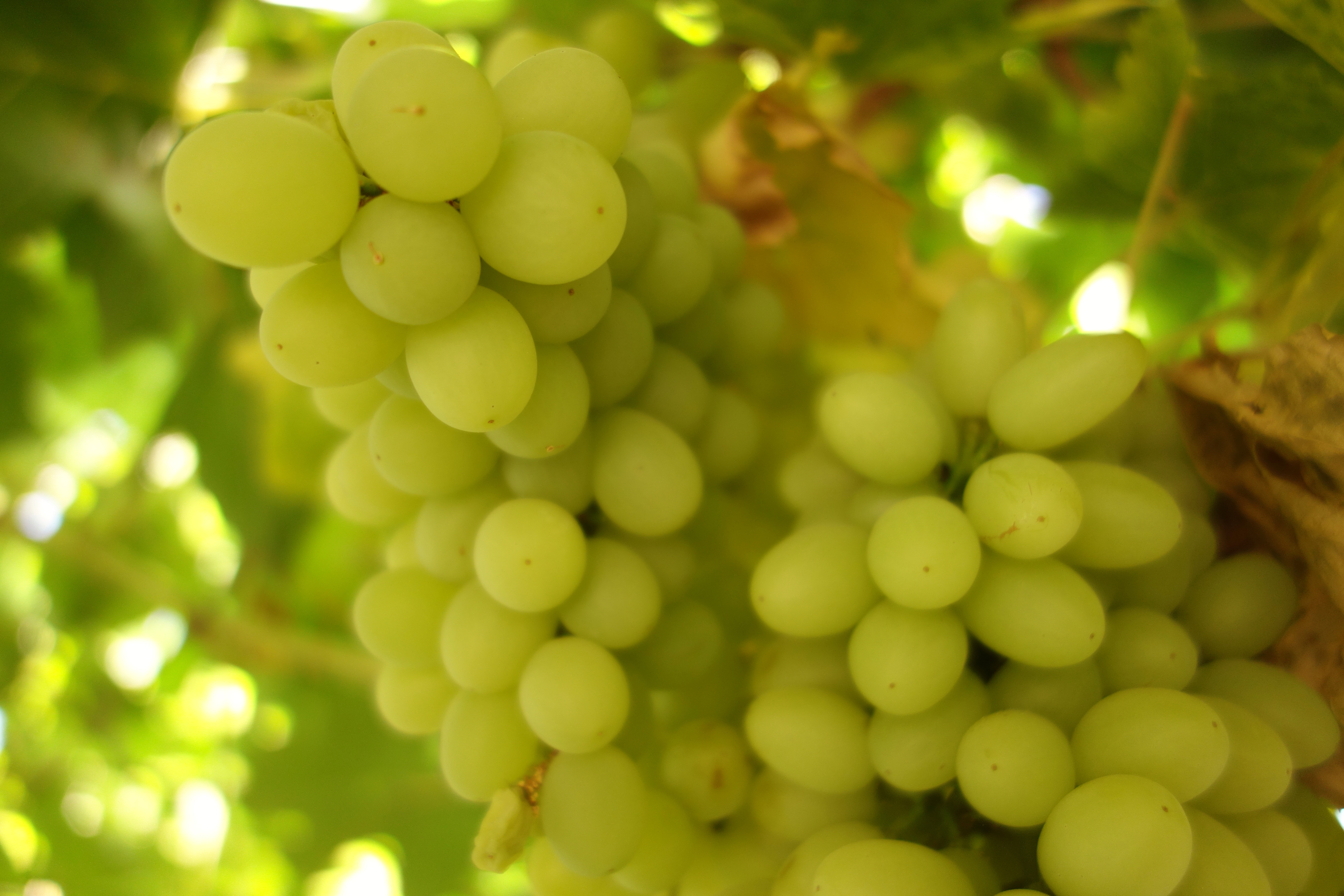 The Grapes Of Turpan on Picture Vocabulary