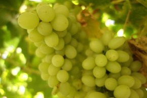 The Grapes Of Turpan