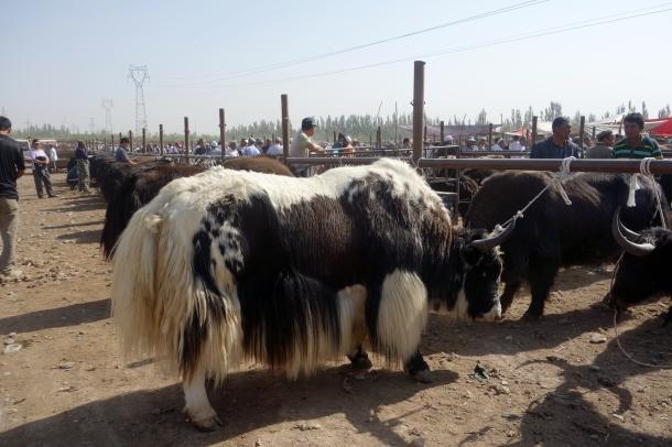 yaks-kashgar-livestock-market