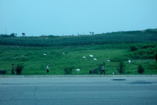 goats-north-korea