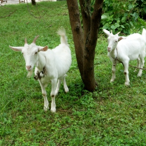 The Goats Of North Korea