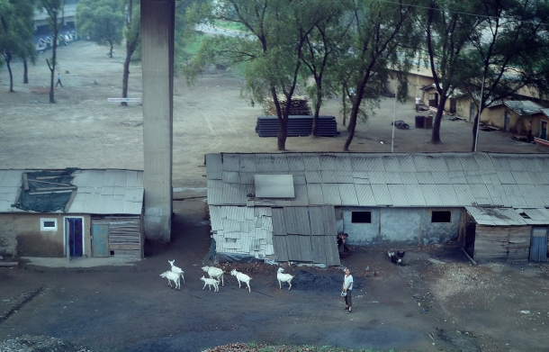 goats-north-korea