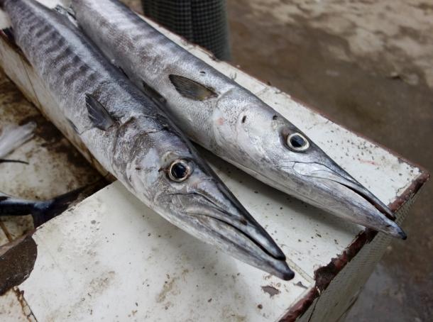 freshly-caught-fish-yemen
