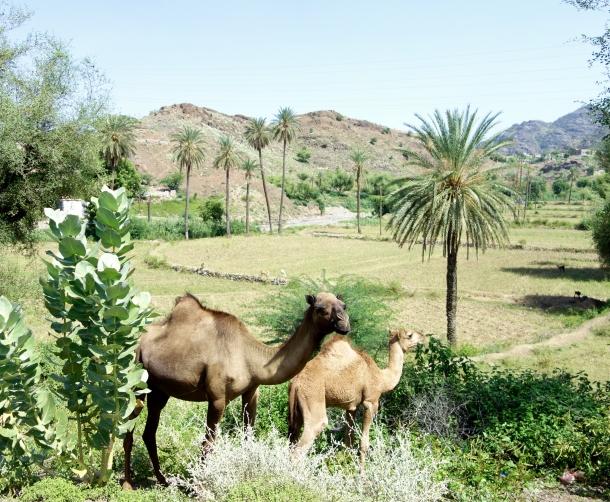camels-yemen