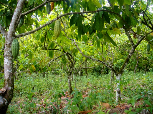 cocoa-plantation